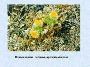 Новосиверсия ледяная, арктическая роза.