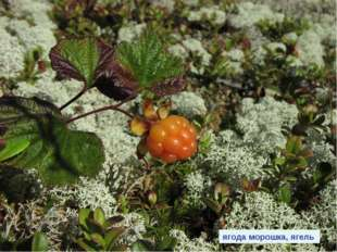 клюква голубика ягода морошка, ягель