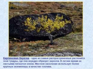Карликовая березка - одно из самых распространенных растений в зоне тундры, г