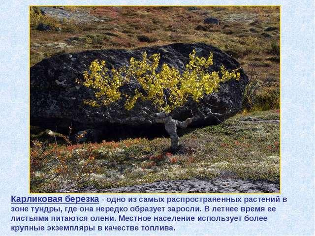 Карликовая березка - одно из самых распространенных растений в зоне тундры, г...