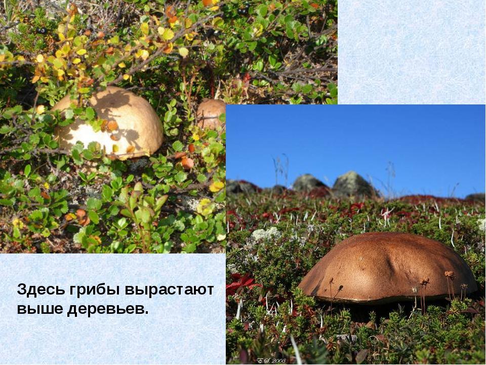 Здесь грибы вырастают выше деревьев.