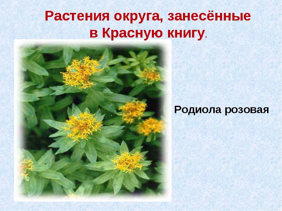 Растения округа, занесённые в Красную книгу. Родиола розовая