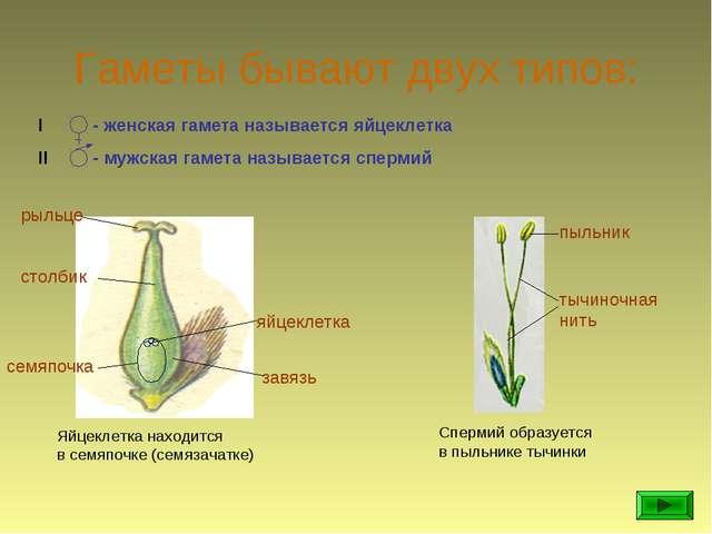 Гаметы бывают двух типов: I - женская гамета называется яйцеклетка II - мужск...