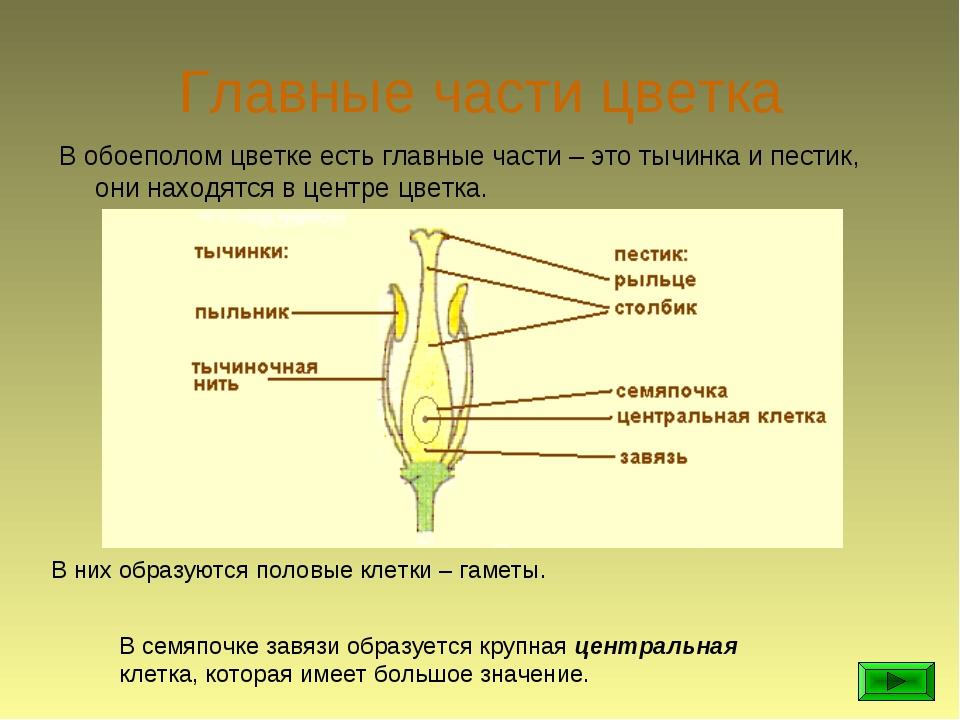 Главные части цветка В обоеполом цветке есть главные части – это тычинка и пе...