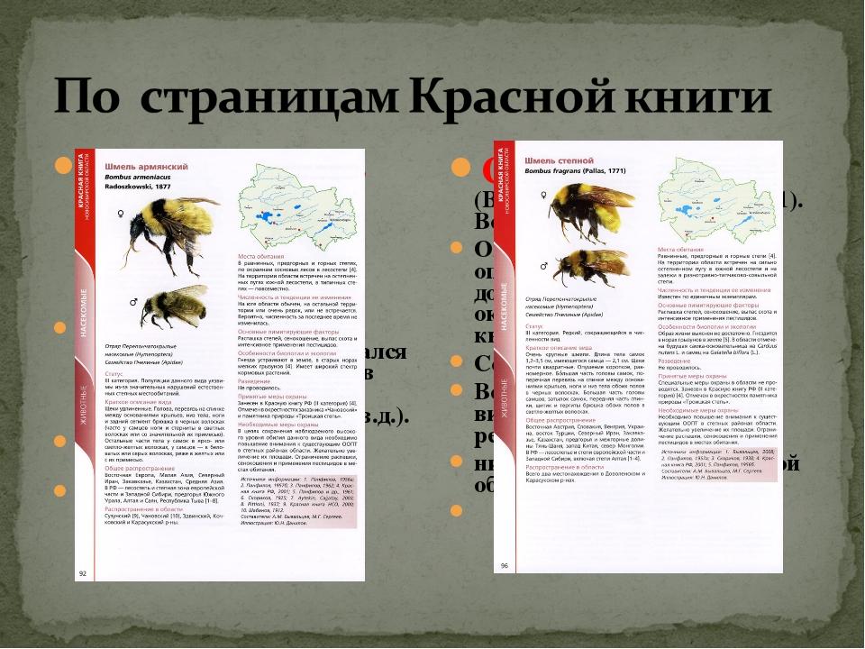 Армянский шмель (Bombus armeniacus Radoszkowski, 1877) – в умеренной численно...