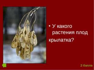 У какого растения плод крылатка? 2 балла