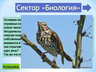 3 Основная пища этих птиц — насекомые, которых они поглощают в огромных колич