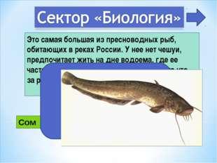 Это самая большая из пресноводных рыб, обитающих в реках России. У нее нет че