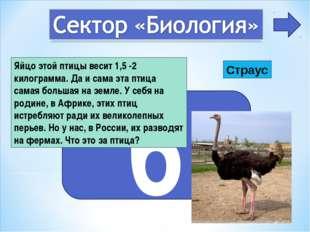 6 Яйцо этой птицы весит 1,5 -2 килограмма. Да и сама эта птица самая большая