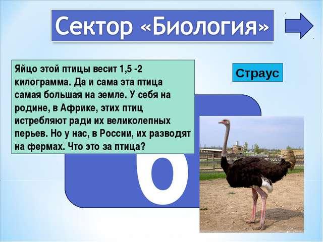 6 Яйцо этой птицы весит 1,5 -2 килограмма. Да и сама эта птица самая большая...