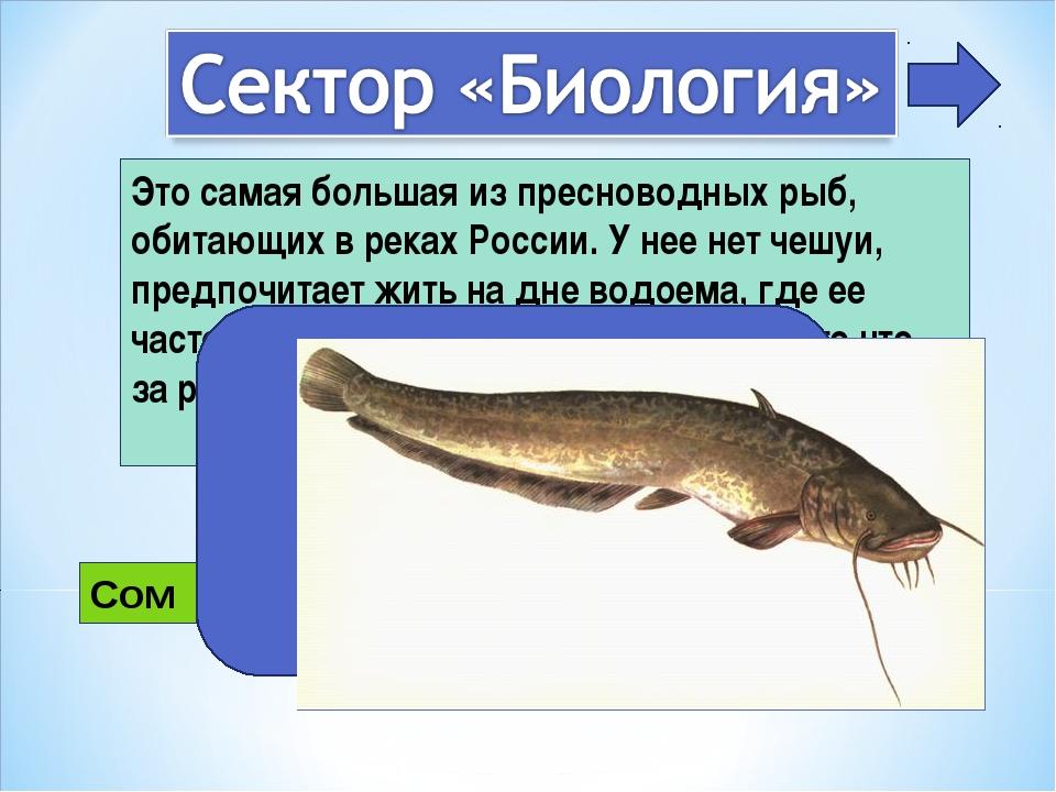 Это самая большая из пресноводных рыб, обитающих в реках России. У нее нет че...