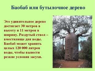 Баобаб или бутылочное дерево Это удивительное дерево достигает 30 метров в вы