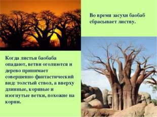 Когда листья баобаба опадают, ветви оголяются и дерево принимает совершенно ф