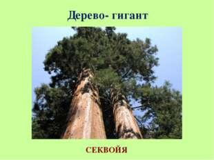 Дерево- гигант СЕКВОЙЯ