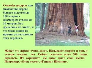 Секвойя дендрон или мамонтово дерево бывает высотой до 100 метров с диаметром