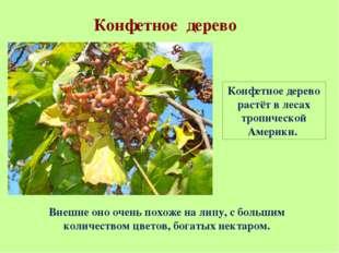 Конфетное дерево Конфетное дерево растёт в лесах тропической Америки. Внешне
