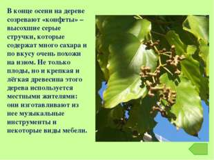 В конце осени на дереве созревают «конфеты» – высохшие серые стручки, которые
