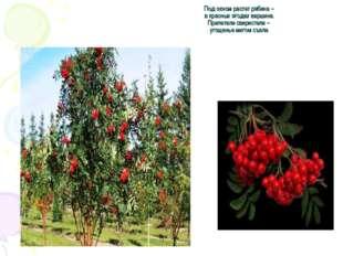 Под окном растет рябина – в красных ягодах вершина. Прилетели свиристели – уг