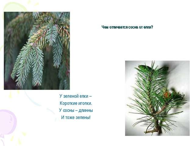 Чем отличается сосна от елки? У зеленой елки – Короткие иголки. У сосны – дли...