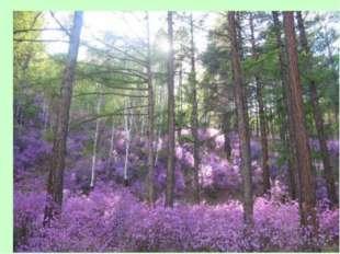 Здесь весна багулом красит сопки. В синем небе дымкой облака, А в тайге чуть