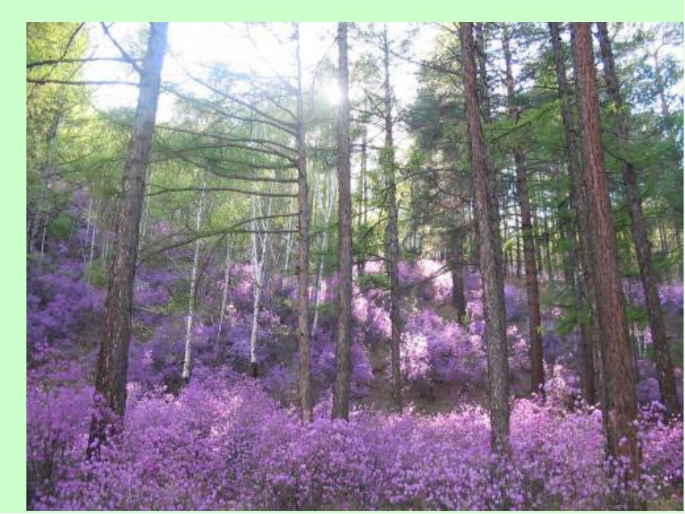 Здесь весна багулом красит сопки. В синем небе дымкой облака, А в тайге чуть...