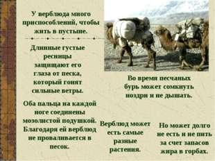 У верблюда много приспособлений, чтобы жить в пустыне. Длинные густые ресницы