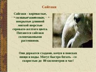 Сайгаки Сайгаки - коренастые, сильные животные, покрытые длинной мягкой шерст