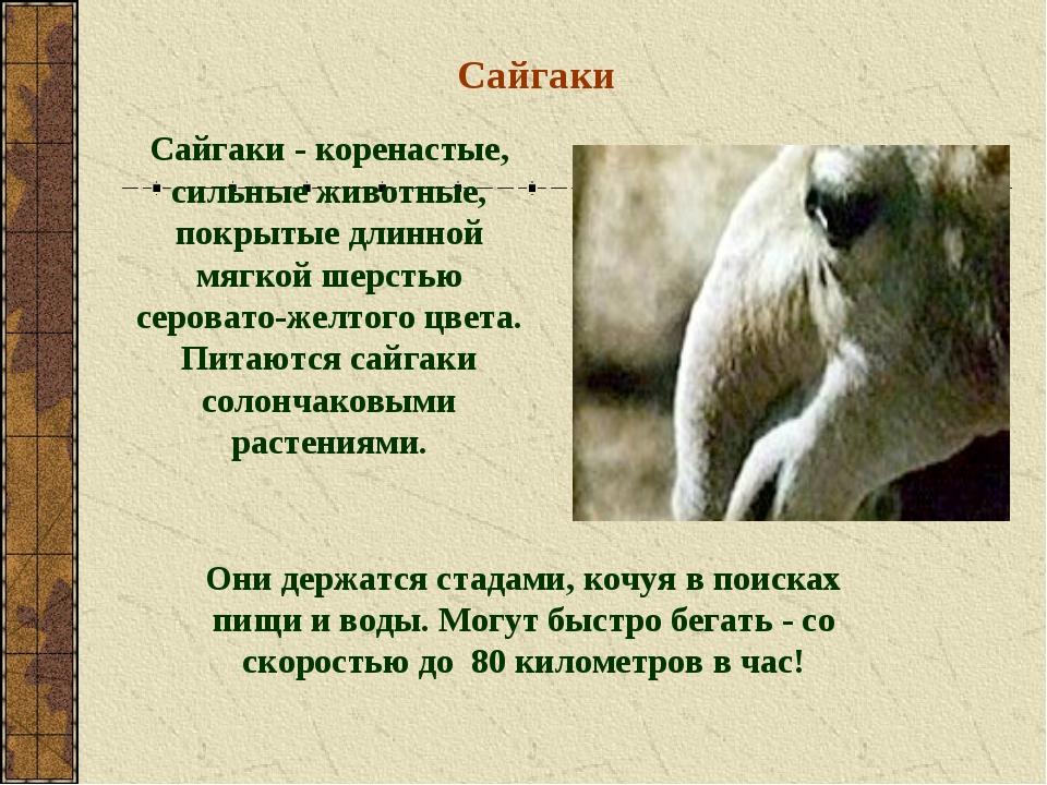 Сайгаки Сайгаки - коренастые, сильные животные, покрытые длинной мягкой шерст...