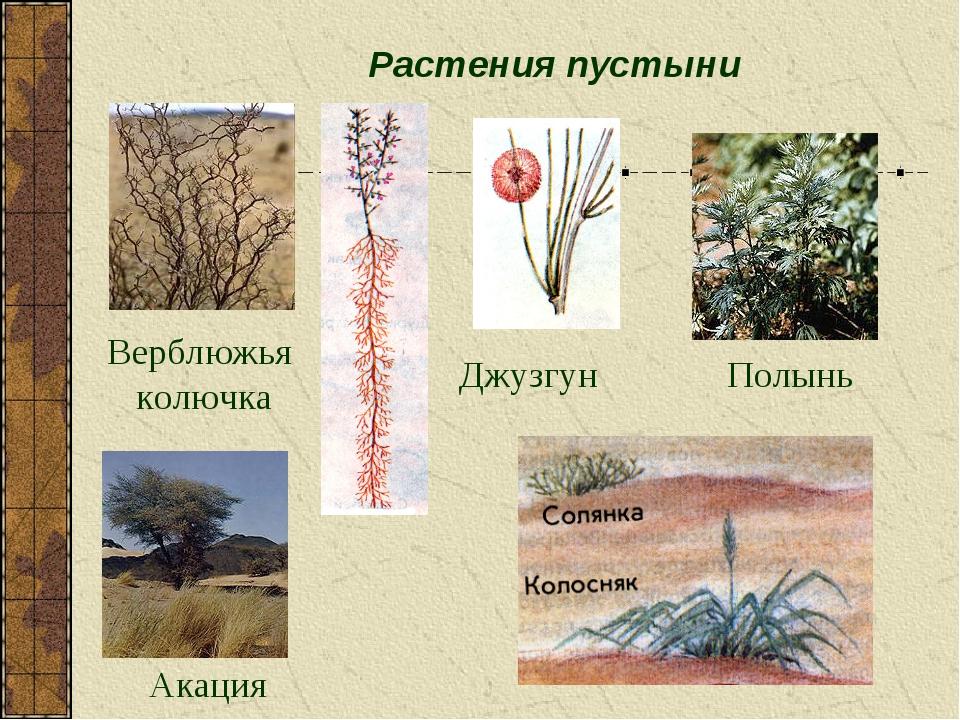 Растения пустыни Полынь Джузгун Акация Верблюжья колючка