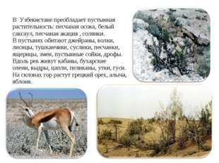 В Узбекистане преобладает пустынная растительность: песчаная осока, белый сак