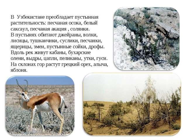 В Узбекистане преобладает пустынная растительность: песчаная осока, белый сак...
