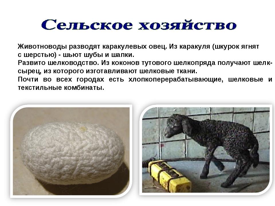 Животноводы разводят каракулевых овец. Из каракуля (шкурок ягнят с шерстью) -...