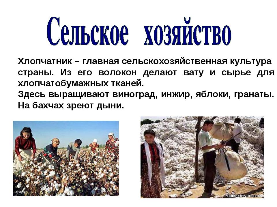 Хлопчатник – главная сельскохозяйственная культура страны. Из его волокон дел...