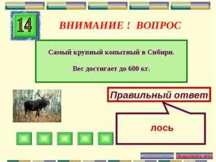 ВНИМАНИЕ ! ВОПРОС Самый крупный копытный в Сибири. Вес достигает до 600 кг. П