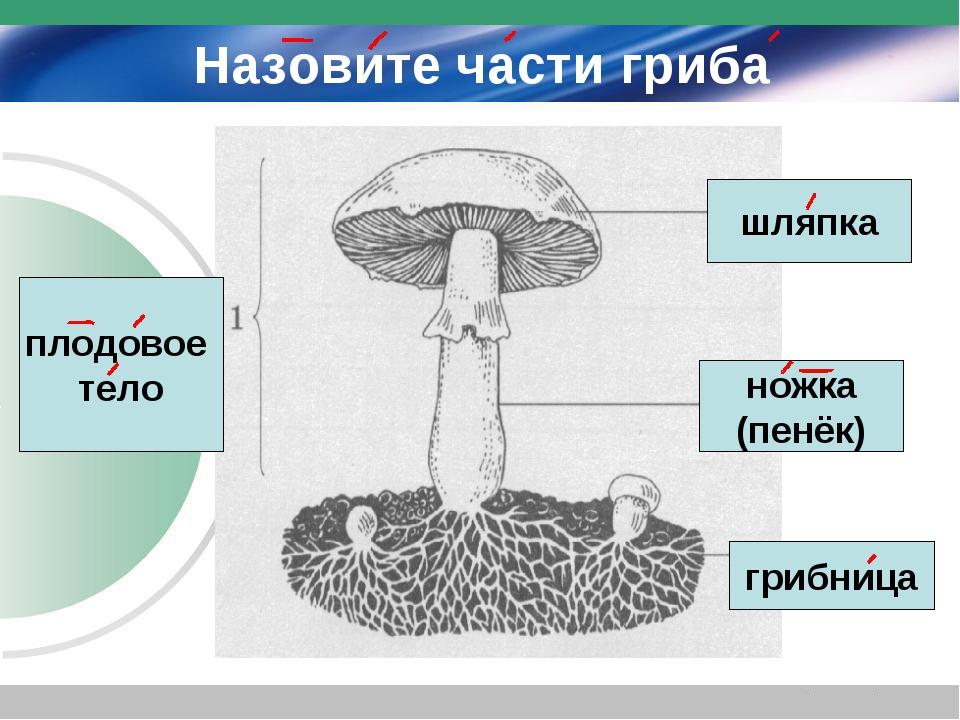 Назовите части гриба плодовое тело шляпка ножка (пенёк) грибница