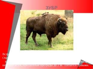 ЗУБР Встречается только в заповедниках в европейской части России. Очень кру