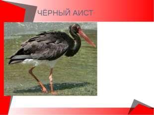 ЧЁРНЫЙ АИСТ Крупнейшая птица. Имеет высокие ноги. Черный аист – лесная птица.