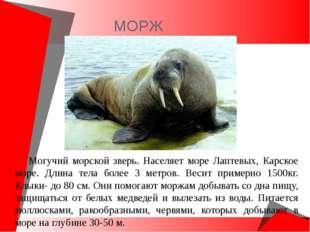 МОРЖ Могучий морской зверь. Населяет море Лаптевых, Карское море. Длина тела