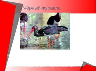 Чёрный журавль Распространен в Восточной Сибири и юге Дальнего Востока. Крупн