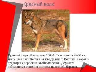 Красный волк Крупный зверь. Длина тела 100 -110 см., хвоста 45-50 см, масса 1