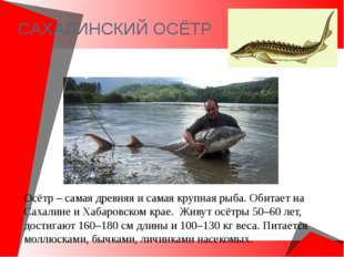 САХАЛИНСКИЙ ОСЁТР Осётр – самая древняя и самая крупная рыба. Обитает на Сах