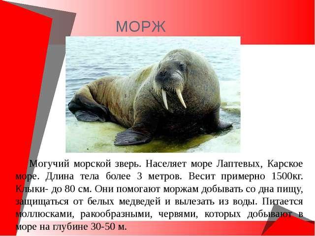 МОРЖ Могучий морской зверь. Населяет море Лаптевых, Карское море. Длина тела...
