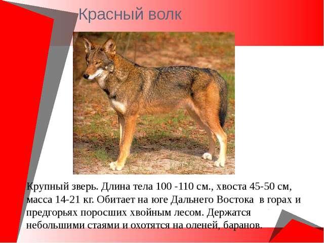 Красный волк Крупный зверь. Длина тела 100 -110 см., хвоста 45-50 см, масса 1...