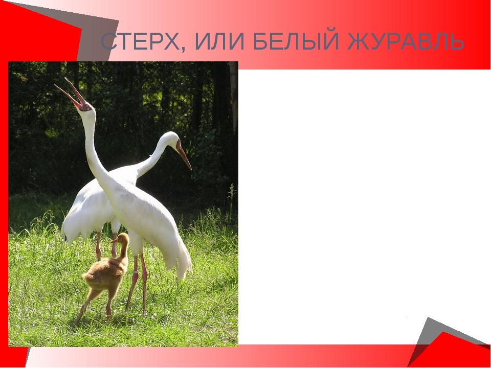 СТЕРХ, ИЛИ БЕЛЫЙ ЖУРАВЛЬ Населяет север Западной и Восточной Сибири. Крупная...