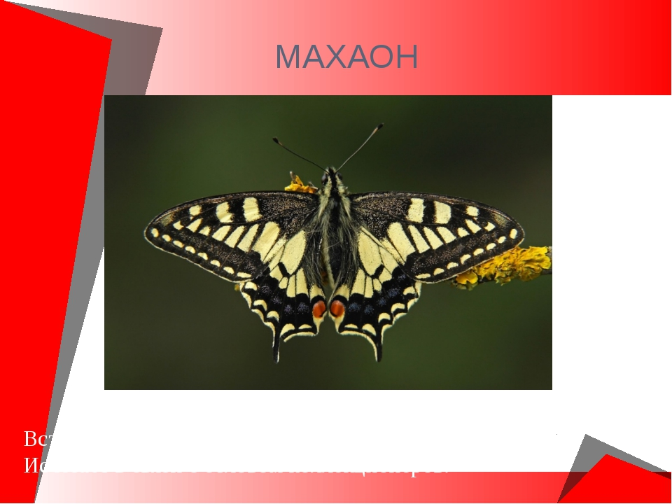МАХАОН Встречается в России. Самая красивая и крупная бабочка. Исчезает в свя...