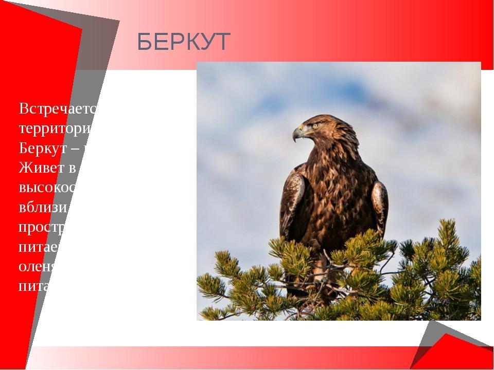 БЕРКУТ Встречается на всей территории России. Беркут – крупный орел. Живет в...