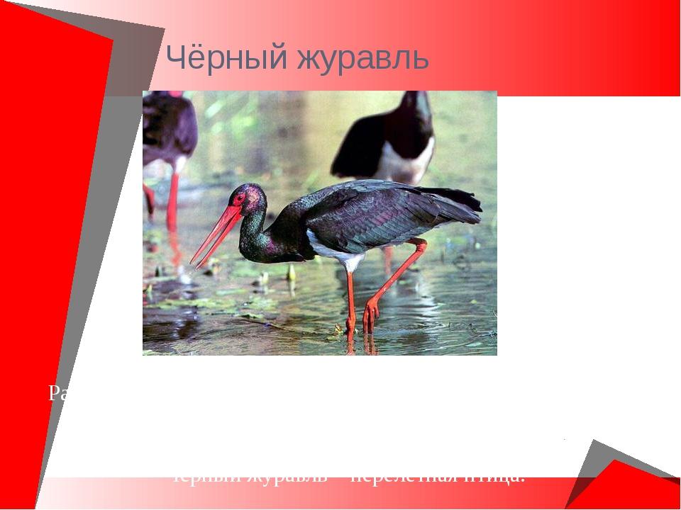 Чёрный журавль Распространен в Восточной Сибири и юге Дальнего Востока. Крупн...