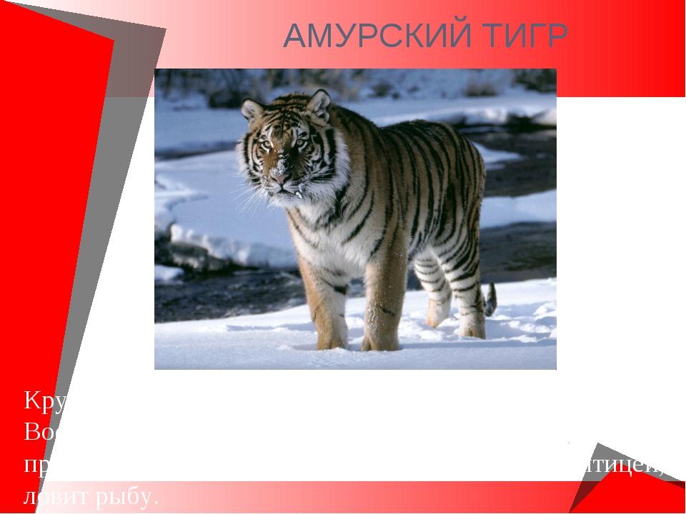 АМУРСКИЙ ТИГР Крупнейший хищник. Обитает на юге Дальнего Востока. Длина тела...