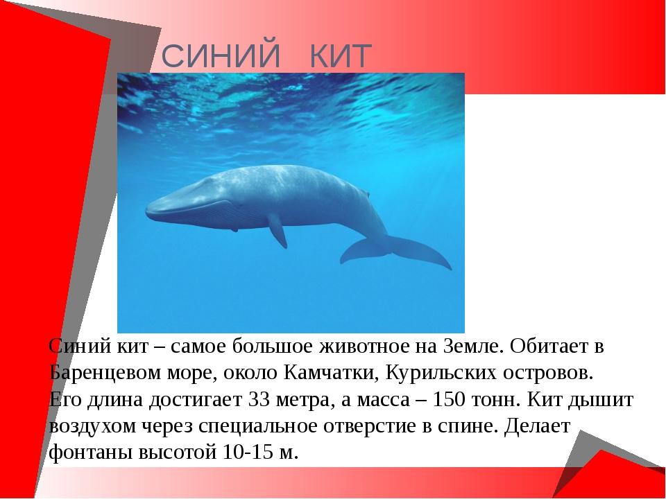 СИНИЙ КИТ Синий кит – самое большое животное на Земле. Обитает в Баренцевом м...