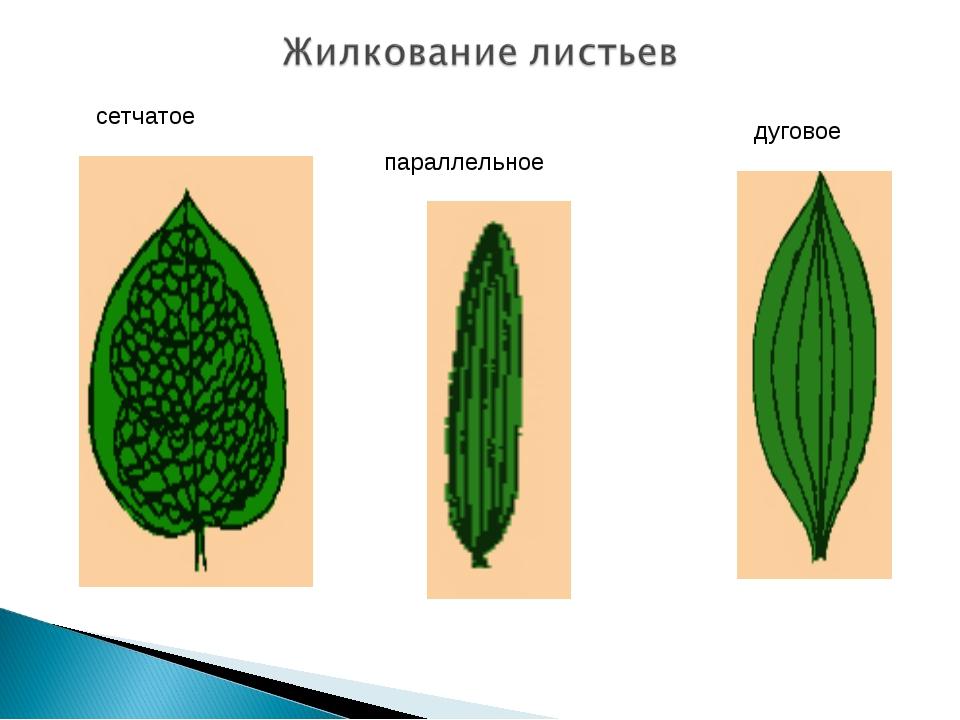 Картинки листа с параллельном жилкованием